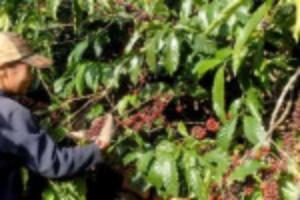 Ảnh của Giá cà phê liên tục tăng khi dự báo nguồn cung sụt giảm