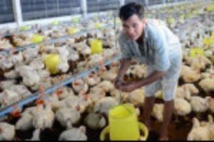 Ảnh của Giá gà có nơi rẻ như rau, chỉ 10.000 đồng/kg, chỗ ế thừa, nơi không có ăn