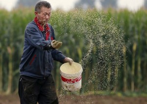 Picture of Chinese corn gets cheaper, regains lost share from wheat in feed rations